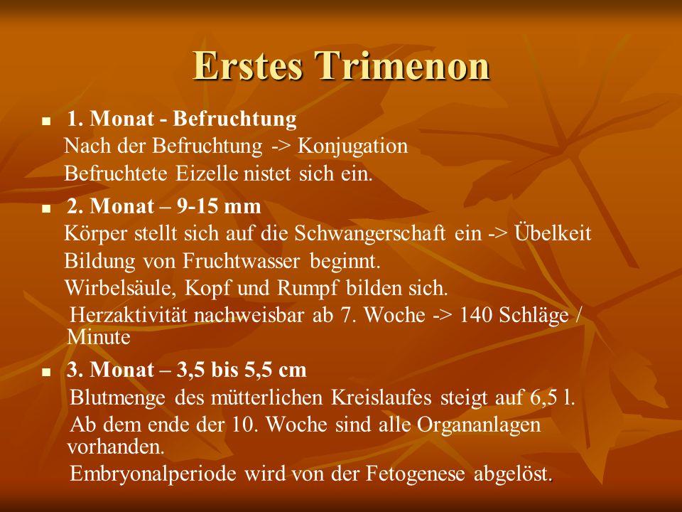 Erstes Trimenon 1. Monat - Befruchtung Nach der Befruchtung -> Konjugation Befruchtete Eizelle nistet sich ein. 2. Monat – 9-15 mm Körper stellt sich
