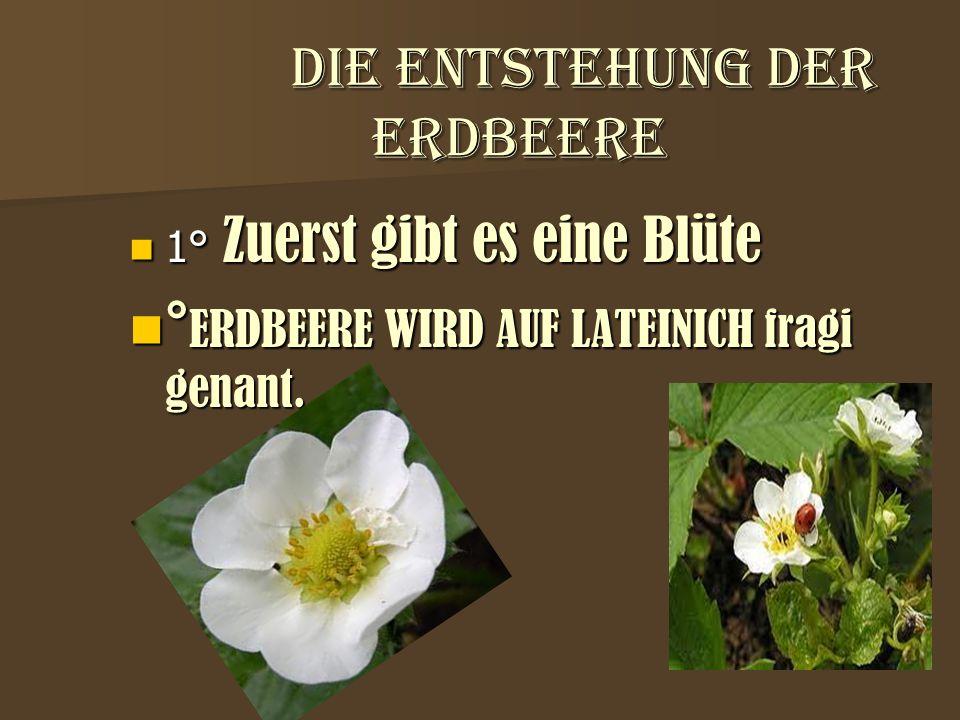 die entstehung der erdbeere die entstehung der erdbeere 1° Zuerst gibt es eine Blüte 1° Zuerst gibt es eine Blüte ° ERDBEERE WIRD AUF LATEINICH fragi
