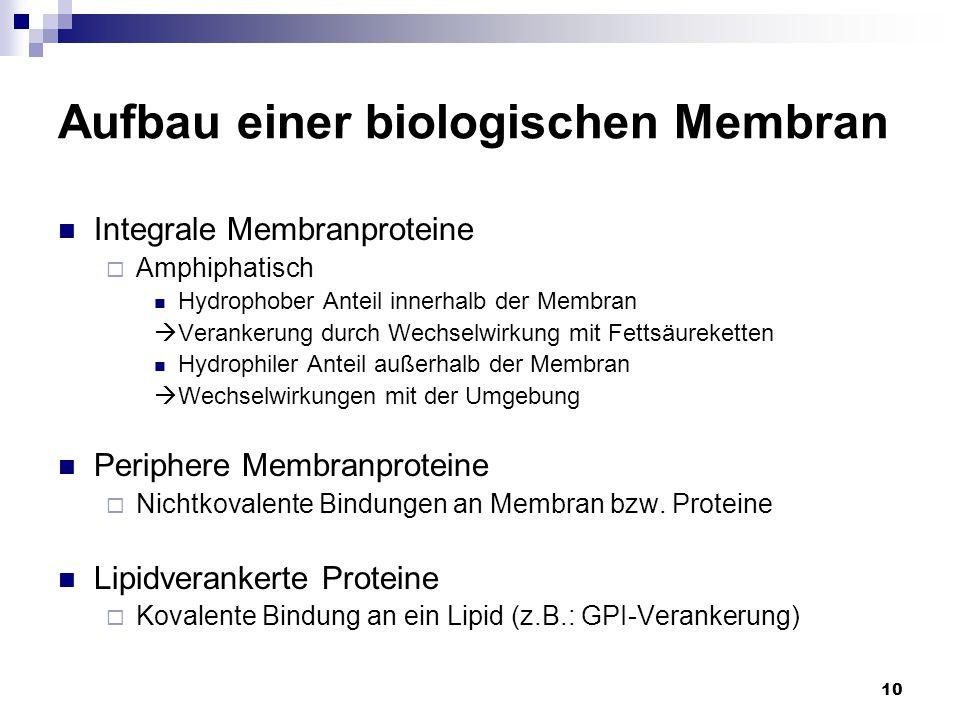 10 Aufbau einer biologischen Membran Integrale Membranproteine  Amphiphatisch Hydrophober Anteil innerhalb der Membran  Verankerung durch Wechselwir