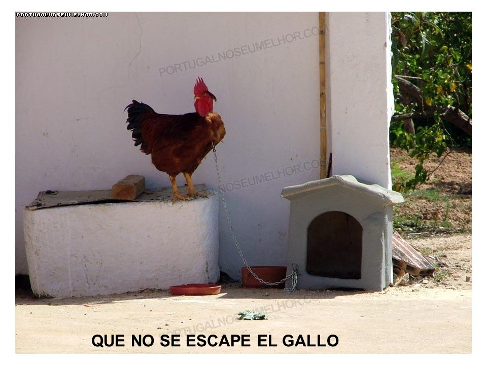 QUE NO SE ESCAPE EL GALLO