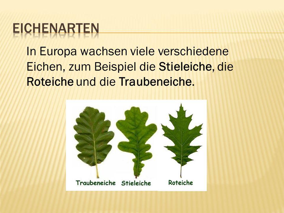 In Europa wachsen viele verschiedene Eichen, zum Beispiel die Stieleiche, die Roteiche und die Traubeneiche.