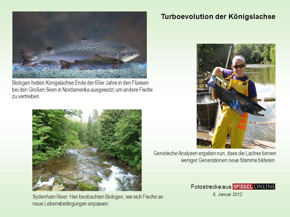 Biologen hatten Königslachse Ende der 60er Jahre in den Flüssen bei den Großen Seen in Nordamerika ausgesetzt, um andere Fische zu vertreiben.