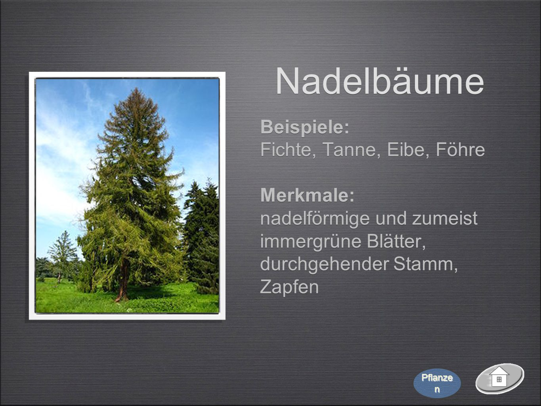 Nadelbäume Beispiele: Fichte, Tanne, Eibe, Föhre Merkmale: nadelförmige und zumeist immergrüne Blätter, durchgehender Stamm, Zapfen Beispiele: Fichte,