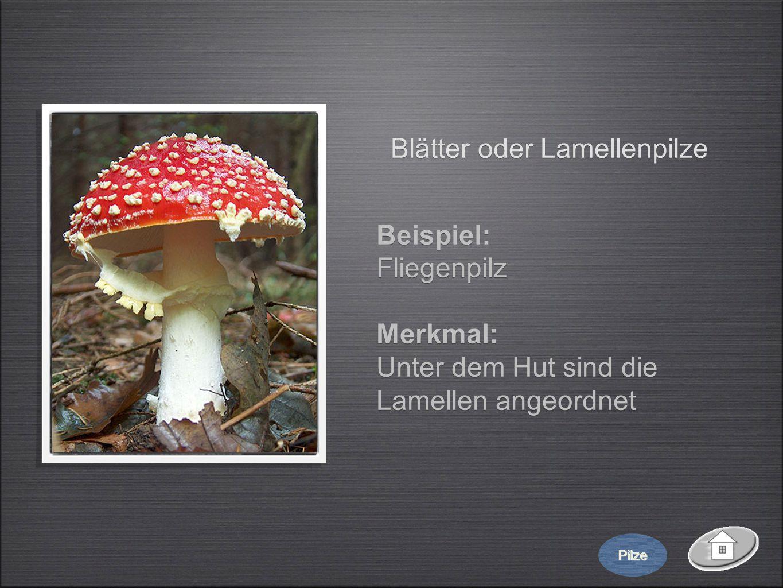 Blätter oder Lamellenpilze Beispiel: Fliegenpilz Merkmal: Unter dem Hut sind die Lamellen angeordnet Beispiel: Fliegenpilz Merkmal: Unter dem Hut sind