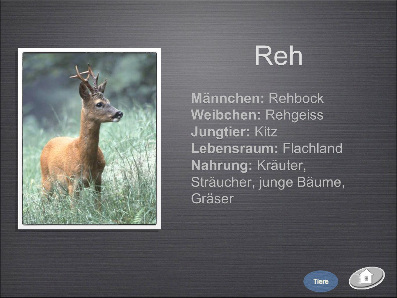 Reh Männchen: Rehbock Weibchen: Rehgeiss Jungtier: Kitz Lebensraum: Flachland Nahrung: Kräuter, Sträucher, junge Bäume, Gräser Männchen: Rehbock Weibc