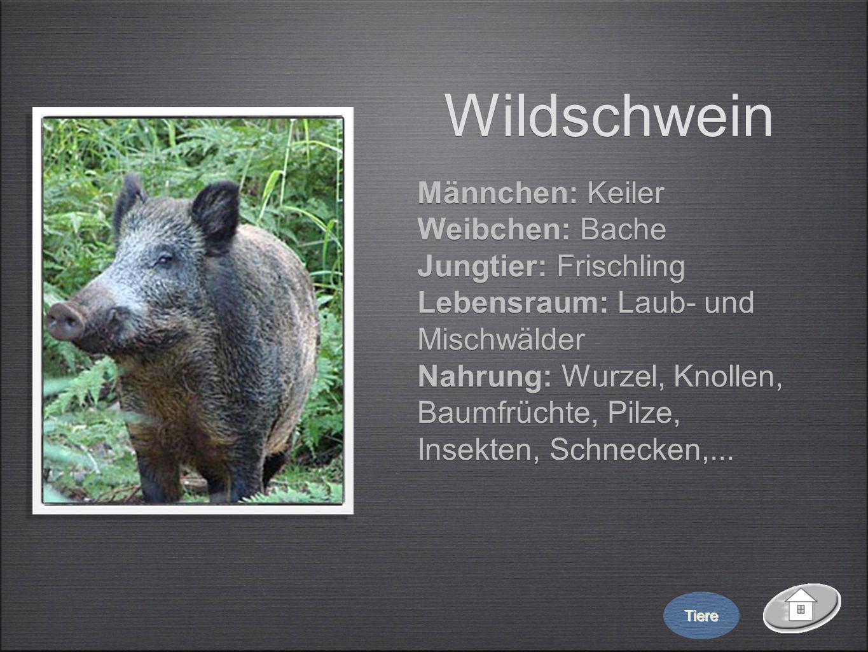 Wildschwein Männchen: Keiler Weibchen: Bache Jungtier: Frischling Lebensraum: Laub- und Mischwälder Nahrung: Wurzel, Knollen, Baumfrüchte, Pilze, Inse