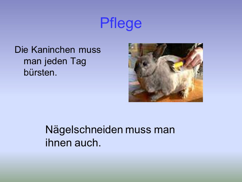 Pflege Die Kaninchen muss man jeden Tag bürsten. Nägelschneiden muss man ihnen auch.