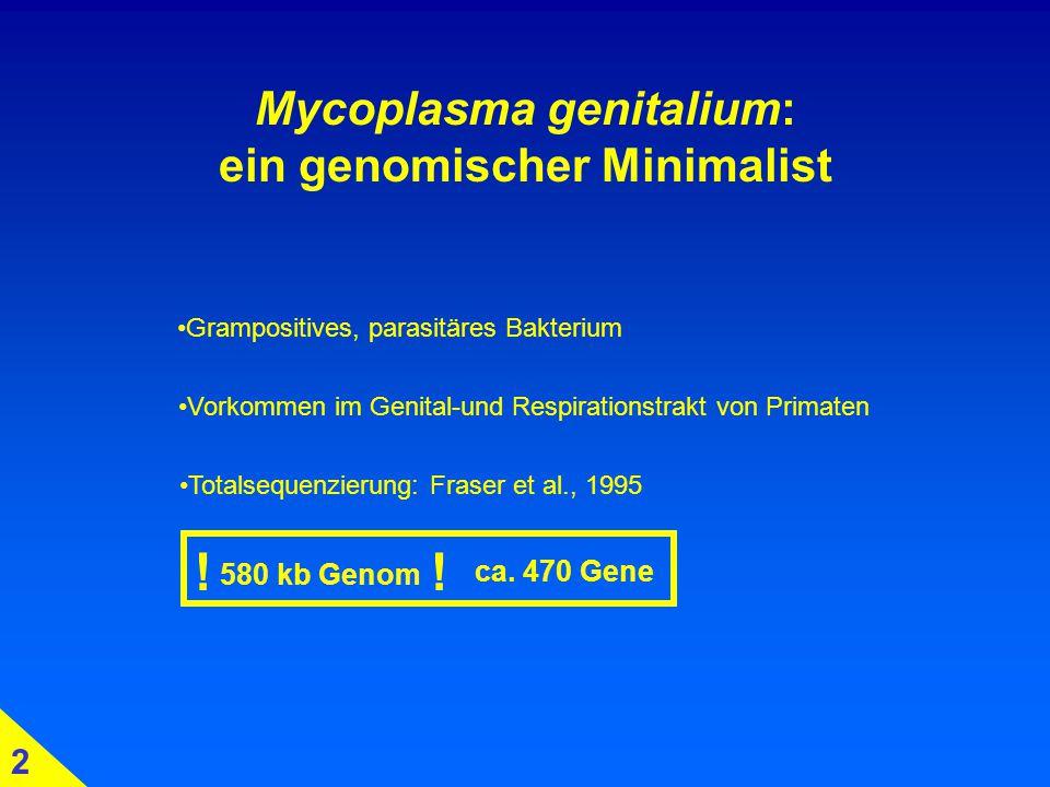 Mycoplasma genitalium: ein genomischer Minimalist Totalsequenzierung: Fraser et al., 1995 580 kb Genom Grampositives, parasitäres Bakterium Vorkommen im Genital-und Respirationstrakt von Primaten 2 !.