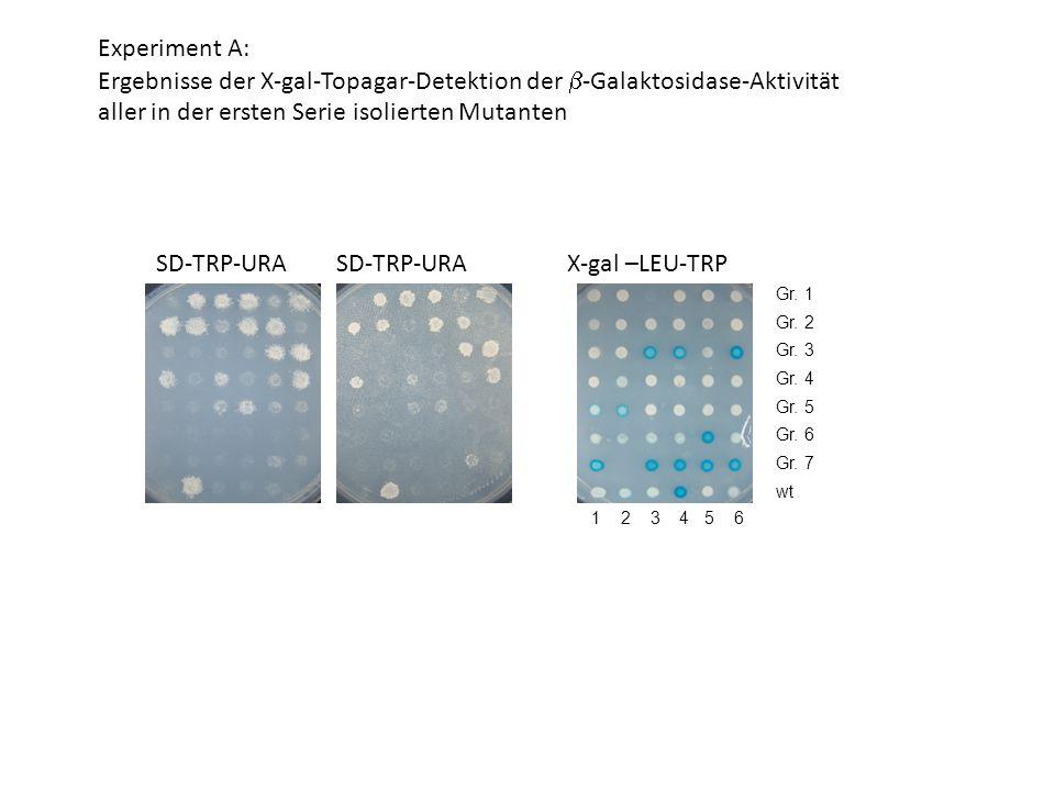 1 2 3 4 5 6 SD-TRP-URA X-gal –LEU-TRP Experiment A: Ergebnisse der X-gal-Topagar-Detektion der  -Galaktosidase-Aktivität aller in der ersten Serie isolierten Mutanten Gr.