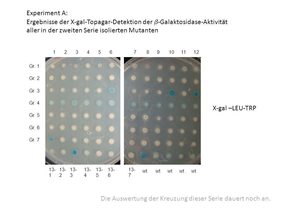 1 X-gal –LEU-TRP Experiment A: Ergebnisse der X-gal-Topagar-Detektion der  -Galaktosidase-Aktivität aller in der zweiten Serie isolierten Mutanten Gr.