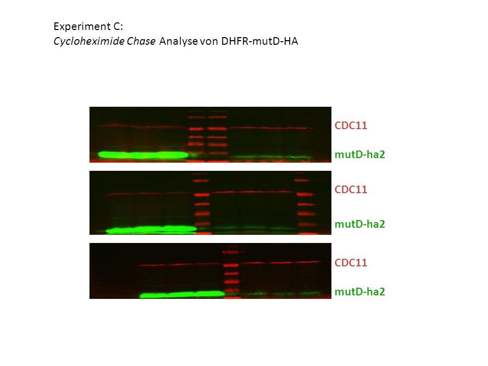 CDC11 mutD-ha2 CDC11 mutD-ha2 CDC11 mutD-ha2 Experiment C: Cycloheximide Chase Analyse von DHFR-mutD-HA