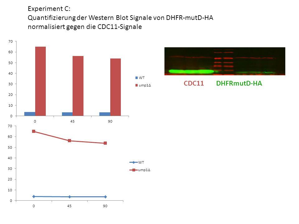Experiment C: Quantifizierung der Western Blot Signale von PUP1/  2 ON = over night Pup1 PGK 0 1 2 ON