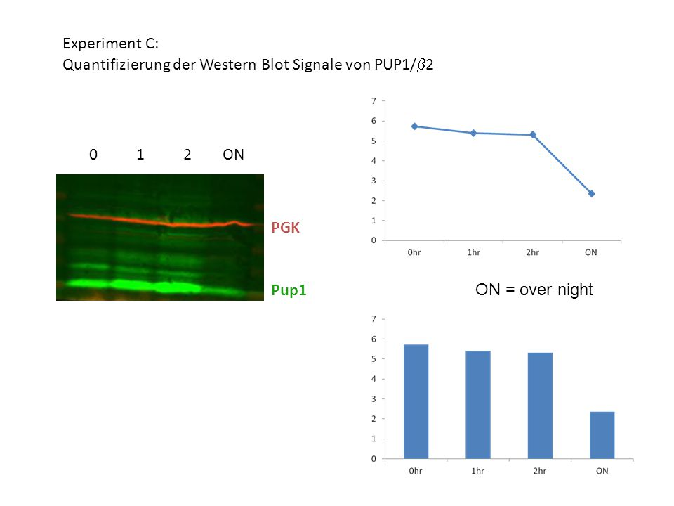 Experiment C: Quantifizierung der Western Blot Signale von PUP1/  2 ON = over night Pup1 PGK ON