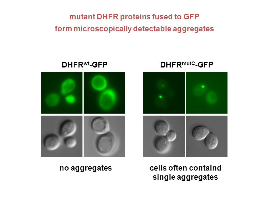 DHFR wt -GFPDHFR mutC -GFP mutant DHFR proteins fused to GFP form microscopically detectable aggregates cells often containd single aggregates no aggregates