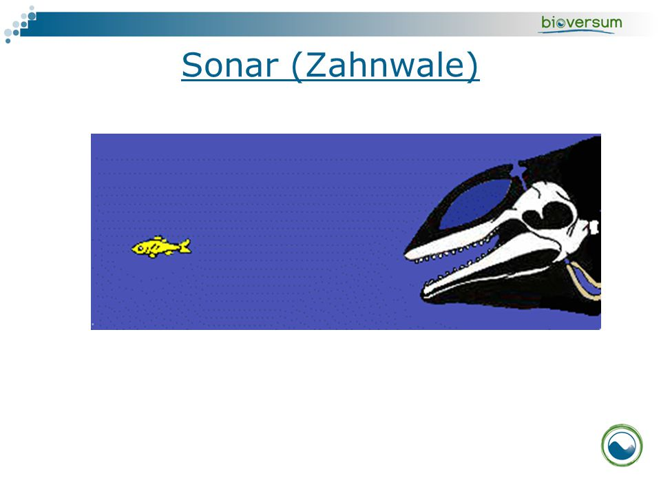 Sonar (Zahnwale)