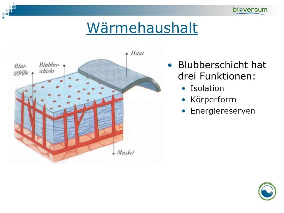 Wärmehaushalt Blubberschicht hat drei Funktionen: Isolation Körperform Energiereserven