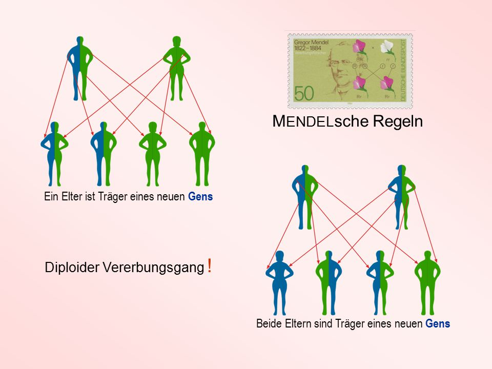 Ein Elter ist Träger eines neuen Gens Beide Eltern sind Träger eines neuen Gens M ENDEL sche Regeln Diploider Vererbungsgang !