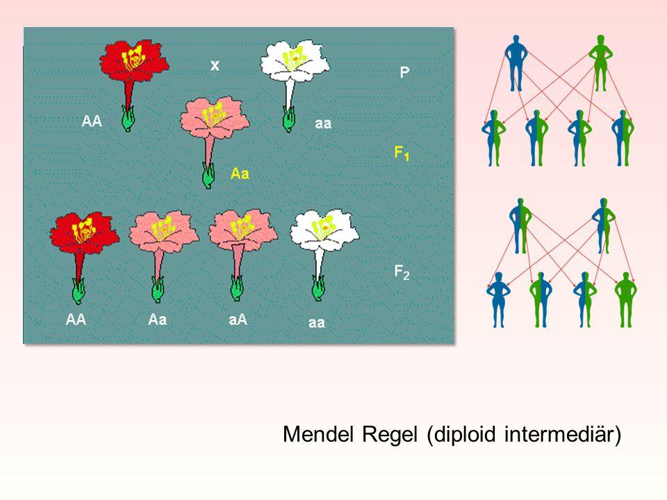 Mendel Regel (diploid intermediär)