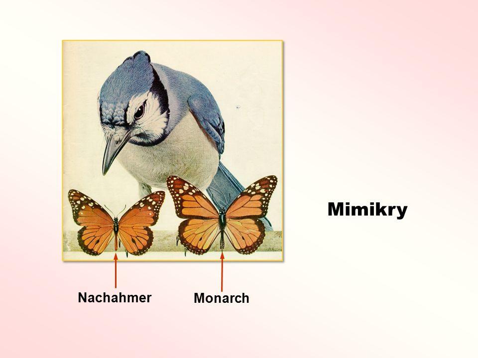 Mimikry Monarch Nachahmer