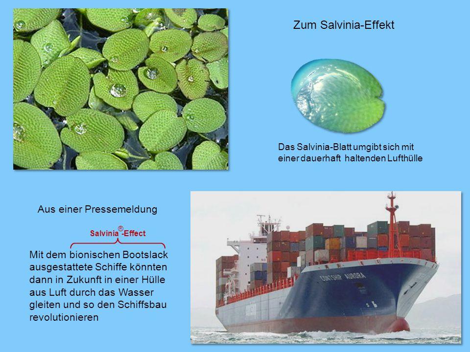 Mit dem bionischen Bootslack ausgestattete Schiffe könnten dann in Zukunft in einer Hülle aus Luft durch das Wasser gleiten und so den Schiffsbau revolutionieren Salvinia -Effect Aus einer Pressemeldung Das Salvinia-Blatt umgibt sich mit einer dauerhaft haltenden Lufthülle ® Zum Salvinia-Effekt