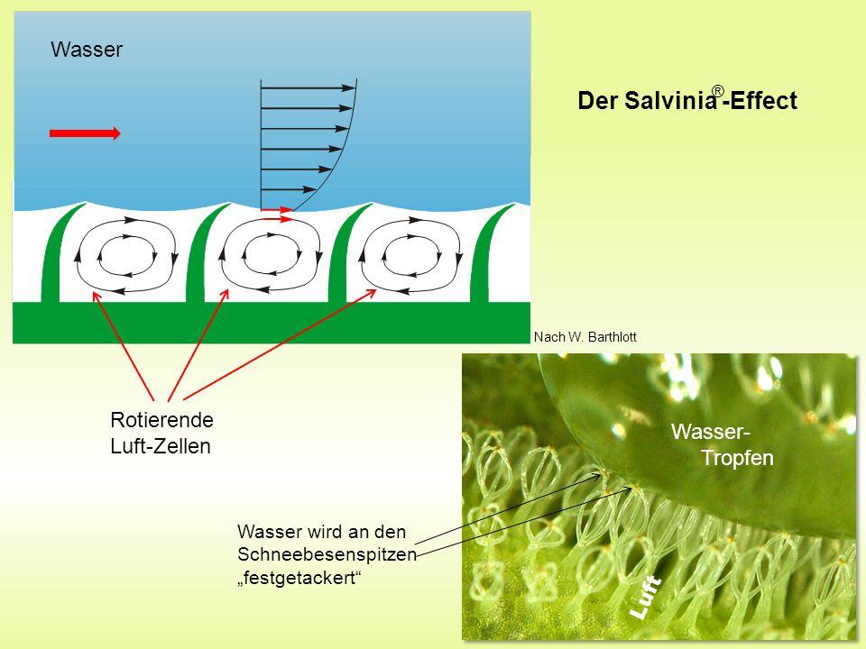 """Wasser Rotierende Luft-Zellen Wasser- Tropfen Luft Wasser wird an den Schneebesenspitzen """"festgetackert Der Salvinia -Effect ® Nach W."""