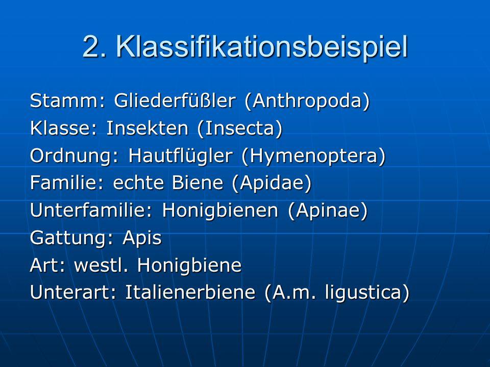 2. Klassifikationsbeispiel Stamm: Gliederfüßler (Anthropoda) Klasse: Insekten (Insecta) Ordnung: Hautflügler (Hymenoptera) Familie: echte Biene (Apida