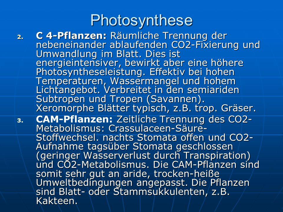 Photosynthese 2. C 4-Pflanzen: Räumliche Trennung der nebeneinander ablaufenden CO2-Fixierung und Umwandlung im Blatt. Dies ist energieintensiver, bew