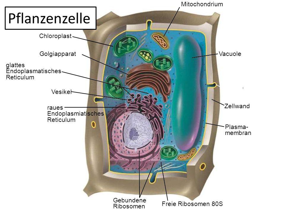 Vacuole Mitochondrium Vesikel Zellwand Plasma- membran Freie Ribosomen 80S Gebundene Ribosomen Golgiapparat Chloroplast glattes Endoplasmatisches Reti