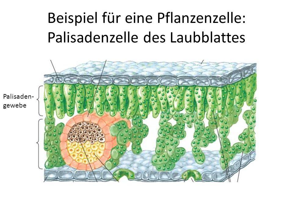 Beispiel für eine Pflanzenzelle: Palisadenzelle des Laubblattes Palisaden- gewebe