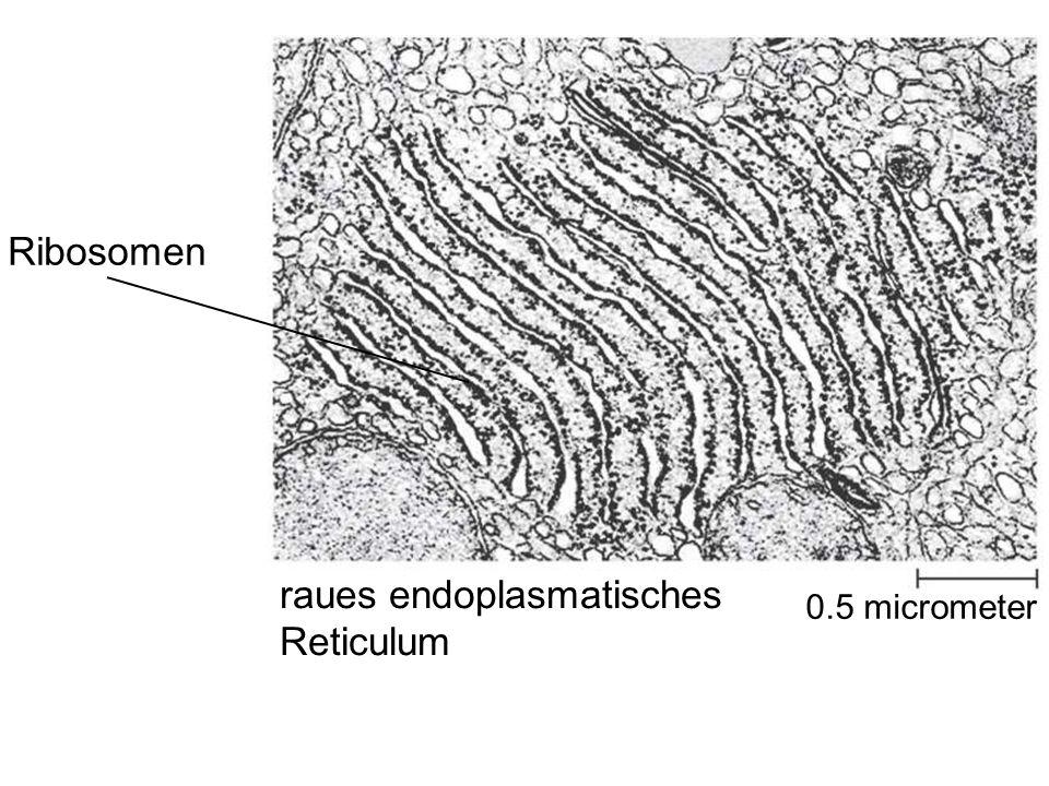 raues endoplasmatisches Reticulum Ribosomen 0.5 micrometer
