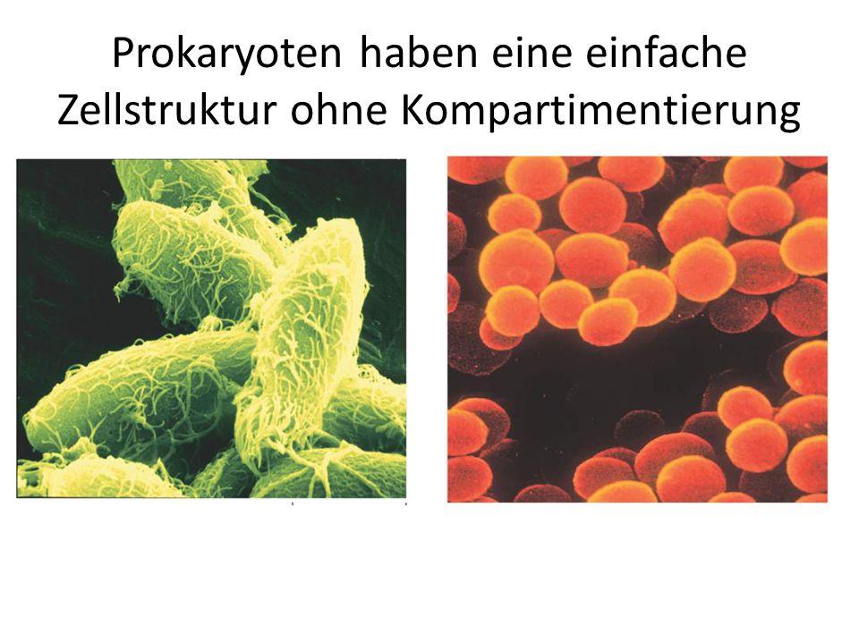 Nucleus Ribosomen Mitochondrien Lysosomen Golgi-Apparat Vesikel Rauhes Endo- plasmatisches Reticulum StrukturMerkmale Zellkern/Nucleusrund, oval, nierenförmig, begrenzt von der Kernmembran Mitochondrienrunde Form, sind im gesamten Zytoplasma verteilt Lysosomengleichmäßige Form Golgi-Apparatunregelmäßige Struktur in der Nähe der Kernmembran, deutliche Intensität (rauhes) Endoplasmatisches Reticulum (ER) kammerförmige Struktur, liegt häufig um den Zellkern herum RibosomenKleine Punkte im Zytoplasma und auf dem ER