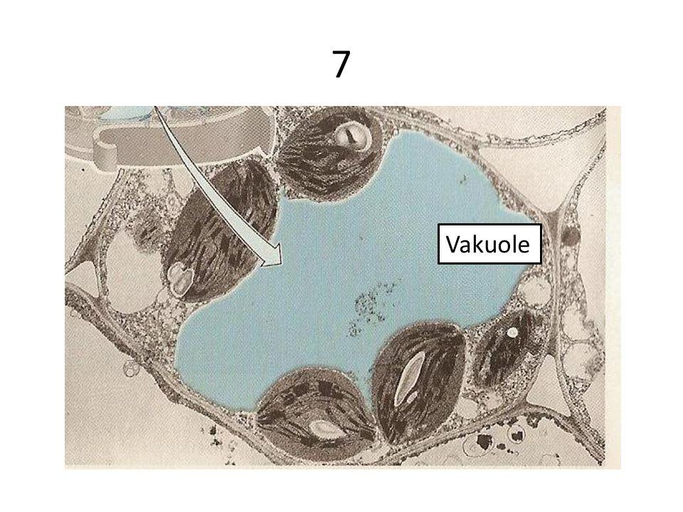 7 Vakuole