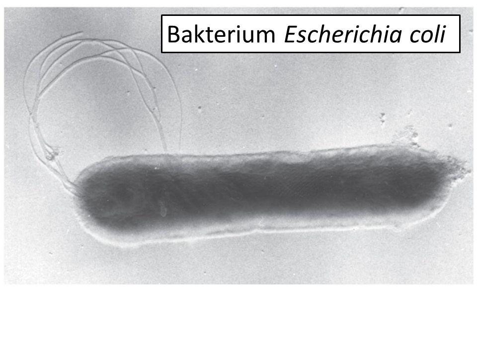 Bakterium Escherichia coli