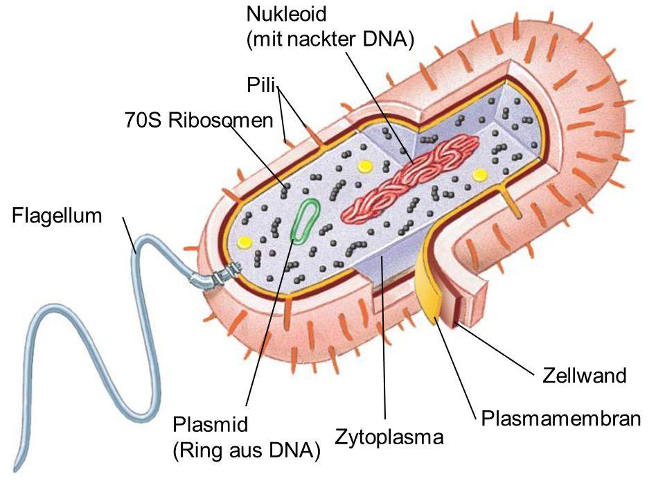 Nukleoid (mit nackter DNA) Pili 70S Ribosomen Flagellum Zellwand Plasmamembran Zytoplasma Plasmid (Ring aus DNA)
