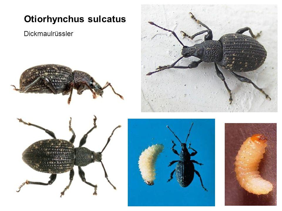 Otiorhynchus sulcatus Dickmaulrüssler
