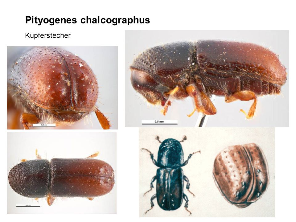 Pityogenes chalcographus Kupferstecher