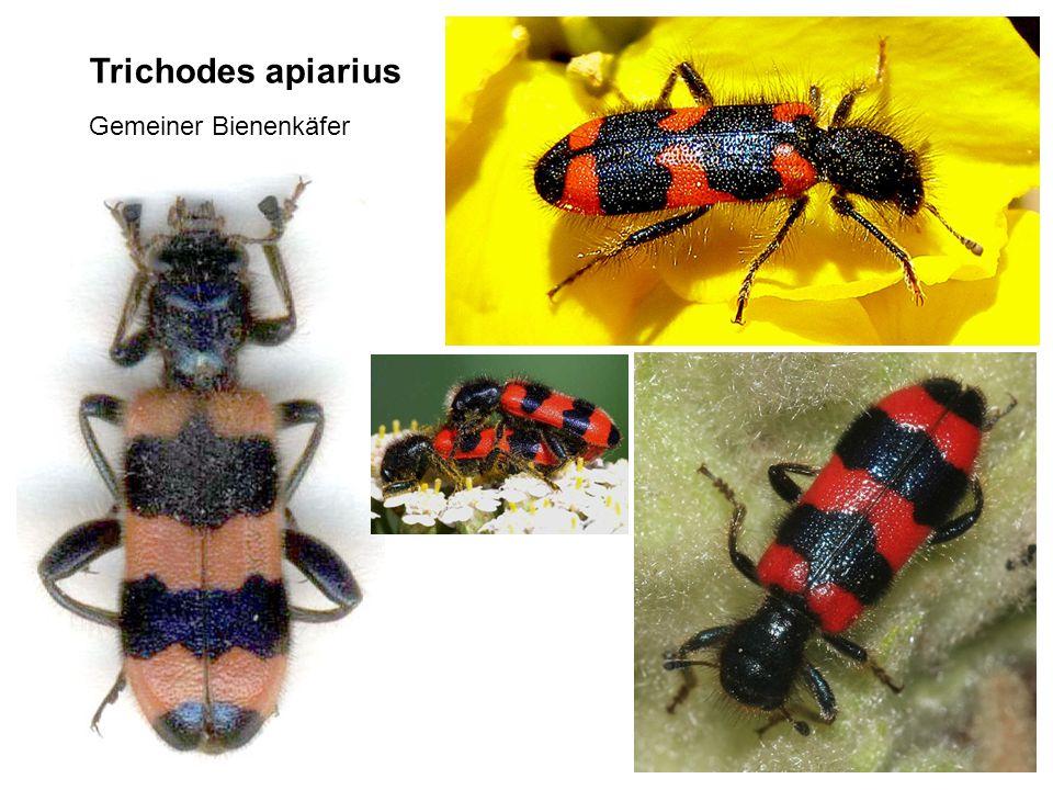 Trichodes apiarius Gemeiner Bienenkäfer