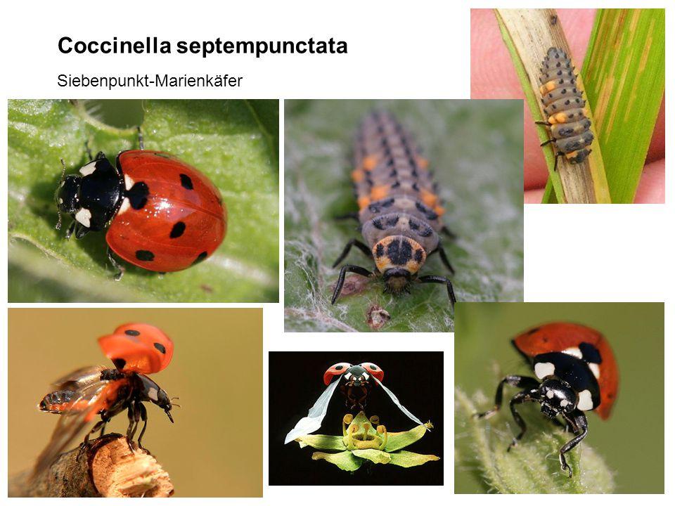 Coccinella septempunctata Siebenpunkt-Marienkäfer