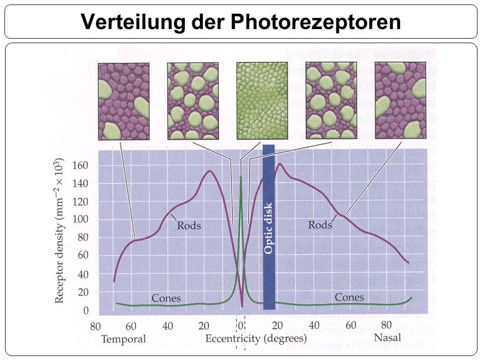 Verteilung der Photorezeptoren
