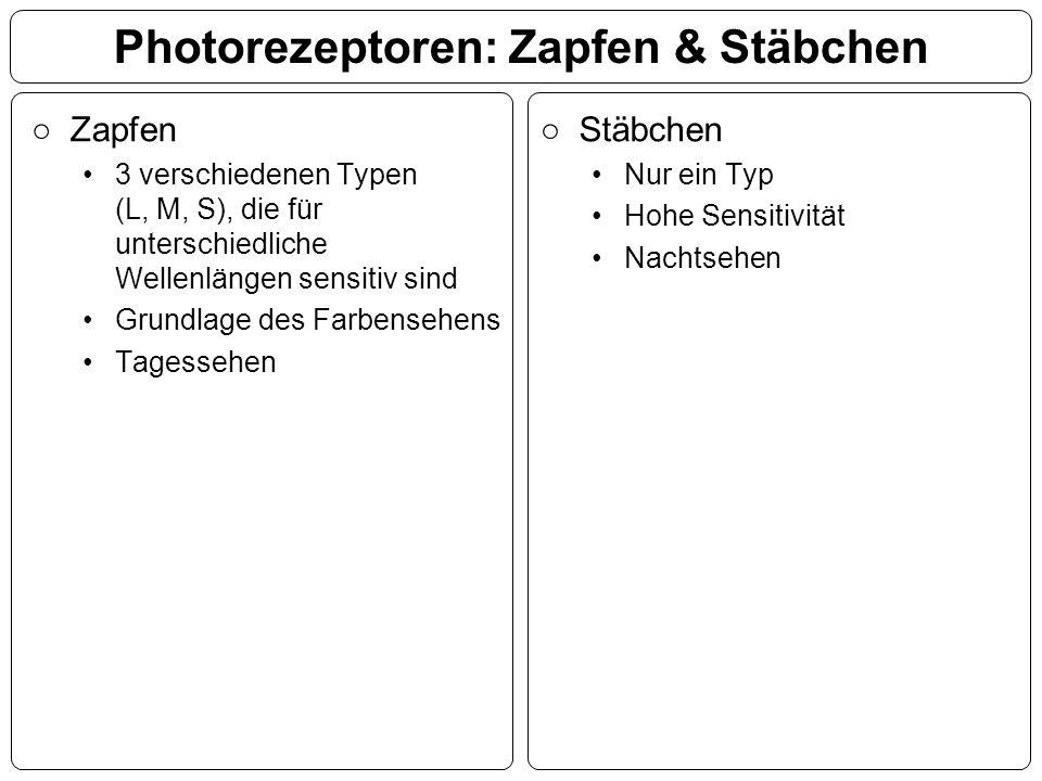 Photorezeptoren: Zapfen & Stäbchen ○Zapfen 3 verschiedenen Typen (L, M, S), die für unterschiedliche Wellenlängen sensitiv sind Grundlage des Farbense