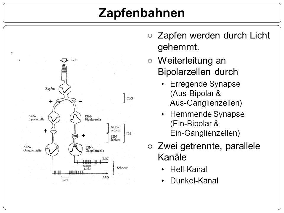 Zapfenbahnen ○Zapfen werden durch Licht gehemmt. ○Weiterleitung an Bipolarzellen durch Erregende Synapse (Aus-Bipolar & Aus-Ganglienzellen) Hemmende S