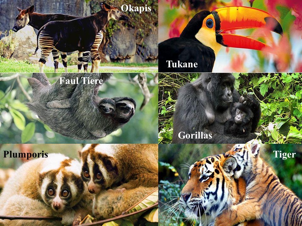 Okapis Tukane Faul Tiere Gorillas PlumporisTiger