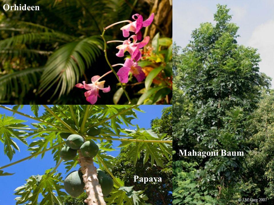 Orhideen Papaya Mahagoni Baum