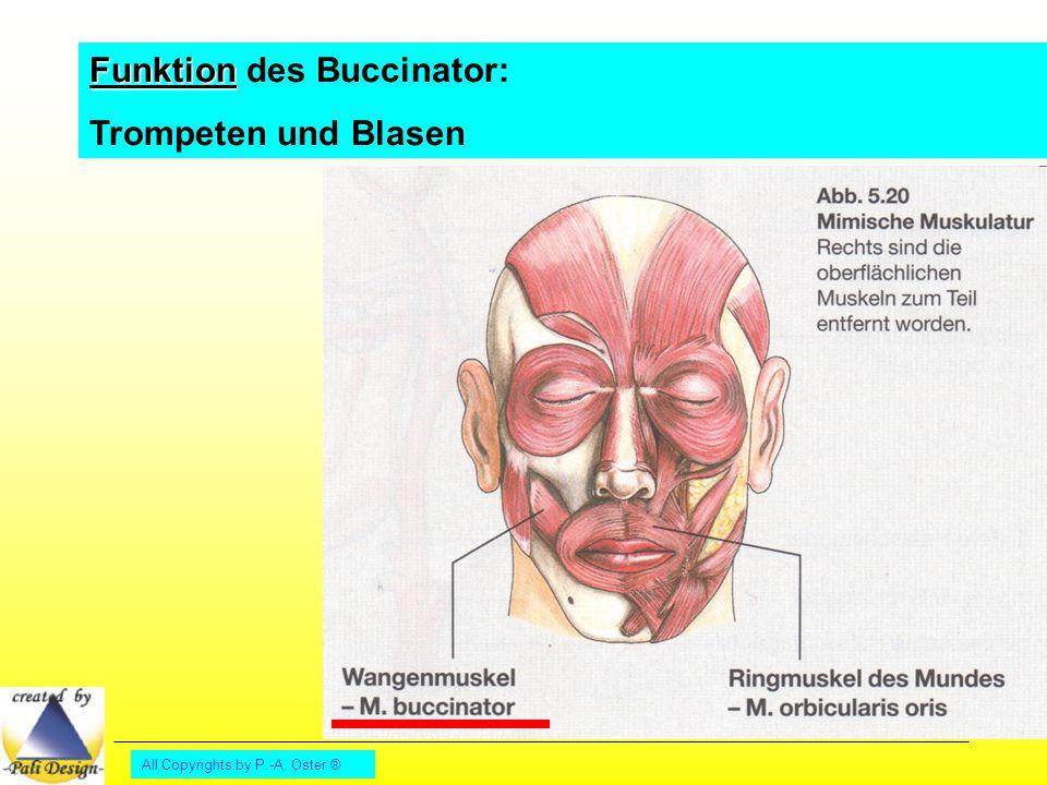 All Copyrights by P.-A. Oster ® Funktion Funktion des Buccinator: Trompeten und Blasen