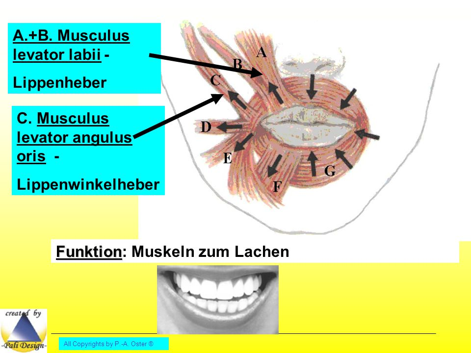 All Copyrights by P.-A. Oster ® A.+B. Musculus levator labii - Lippenheber C. Musculus levator angulus oris - Lippenwinkelheber Funktion Funktion: Mus