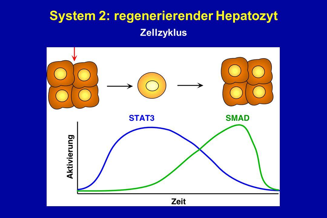 System 2: regenerierender Hepatozyt Sandgren et al., Cell 1990