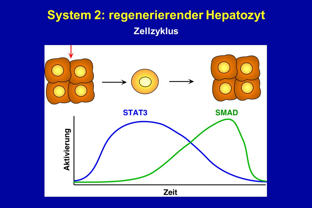 System 2: regenerierender Hepatozyt Zellzyklus