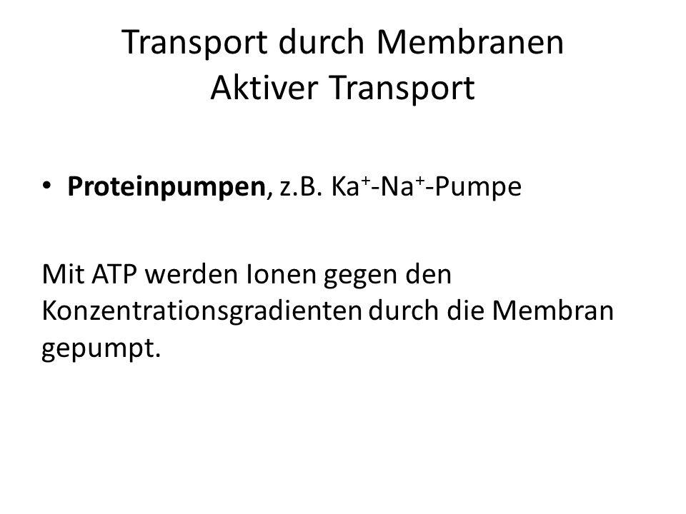 Transport durch Membranen Aktiver Transport Proteinpumpen, z.B. Ka + -Na + -Pumpe Mit ATP werden Ionen gegen den Konzentrationsgradienten durch die Me