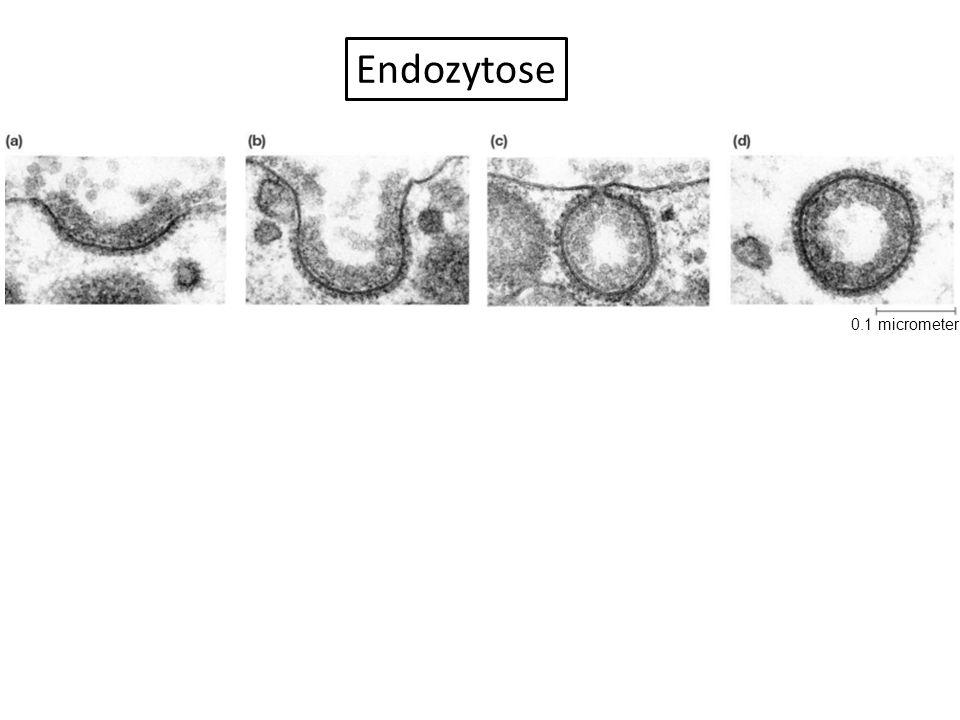 0.1 micrometer Endozytose