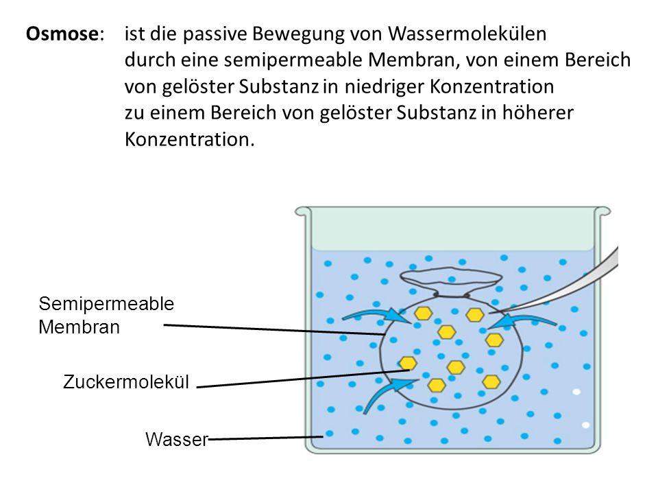 Semipermeable Membran Zuckermolekül Wasser Osmose: ist die passive Bewegung von Wassermolekülen durch eine semipermeable Membran, von einem Bereich v